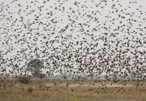 Auch Zugvögel wie der Star kehren wegen des frühen Frühlings früher zurück. APA