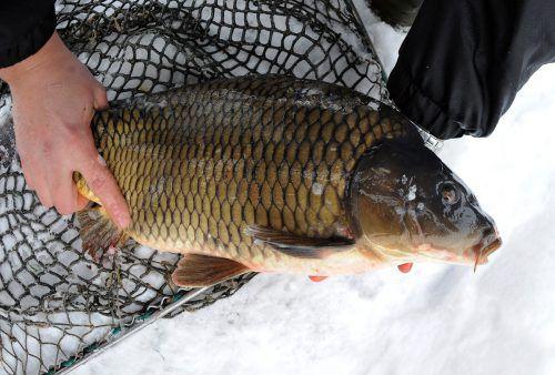 Beim Kauf von Fischen sollten die Konsumenten ganz genau hinschauen und besonders auf ausgewiesene Gütesiegel achten.apa