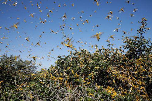 Der Osten Afrikas ist von Schwärmen der Wüstenheuschrecke befallen. reuters