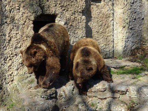 Die Braunbären Blanca und Aragon haben ihr Winterquartier verlassen. apa