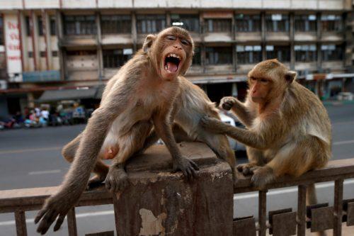 Die Langschwanzmakaken von Lobpuri sind Touristenattraktion und Ärgernis. Reuters