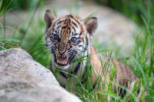 Die seltene Tigerunterart gilt vom Aussterben bedroht. AP