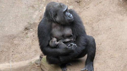 Die stolze Gorillamutter Yene mit ihrem Nachwuchs. Zoo Rostock