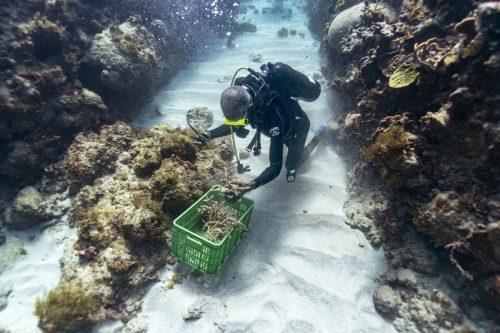 """""""Korallengärtnern"""" wie Everett Simpson ist es zu verdanken, dass sich Jamaikas Korallenriffe wieder erholen. AP"""