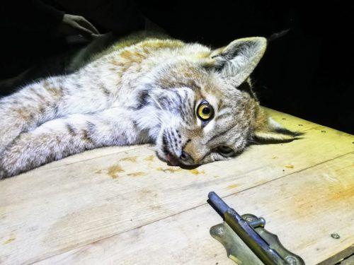 Lumpi wurde im Gehege narkotisiert und dann für die 1000-Kilometer Reise in einen polnischen Nationalpark vorbereitet. wildpark/ammann