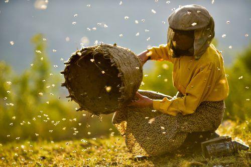 Tagtäglich gewinnt Hatidze Muratova durch mühselige Arbeit den kostbaren Honig. STADTKINO VERLEIH