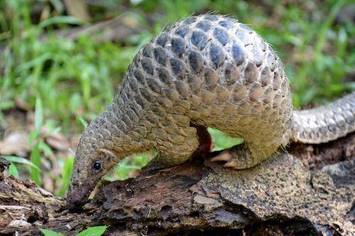Neben der Wilderei sind Pangoline auch durch den Verlust ihres Lebensraums bedroht. AFP