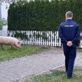 Renitentes Schwein machte Ort unsicher