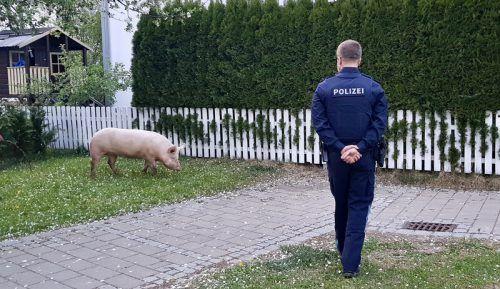Die Polizei vermochte sich der aggressiven Sau nur mit Vorsicht zu nähern. polizei