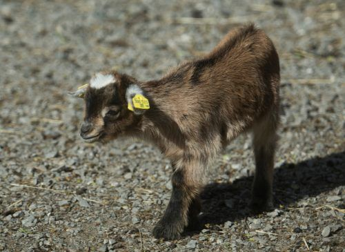 Die Zwergziegen-Babys erkunden bereits neugierig das Gehege. Die kleinen Hornträger sind im Februar auf die Welt gekommen.