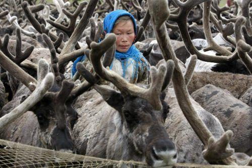 In den Gebieten am Polarkreis gibt es die größte Rentierpopulation der Welt. reuters