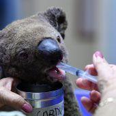 Verletzte Koalas nach Buschfeuer geheilt und ausgewildert
