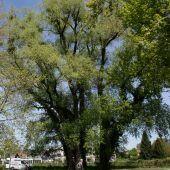 Baumpflege im Lochauer Ortsgebiet und am See
