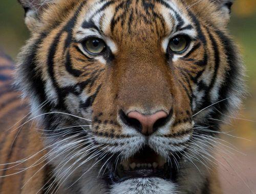 "Tigerdame ""Nadia"" soll sich wieder vollständig erholen. WCS/Handout via REUTERS"