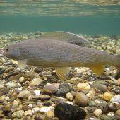 60 Prozent der Fischarten in Österreich sind gefährdet