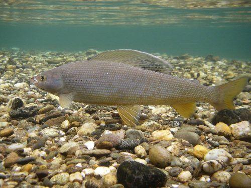 Auch die Äsche zählt zu den gefährden Fischarten.