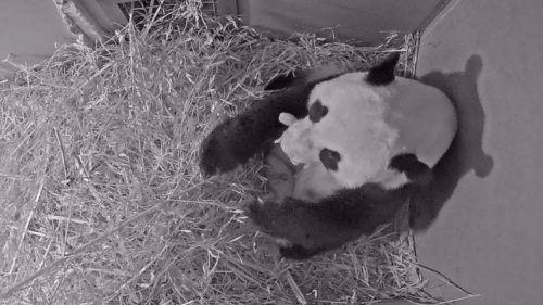Das Geschlecht des Panda-Nachwuchses ist noch unbekannt. AP