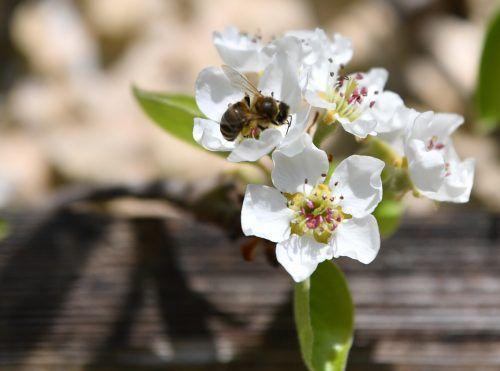 Die Bedeutung von Bienen als Bestäuber für Biodiversität und Ernährungssicherheit ist elementar für die Menschheit. APA