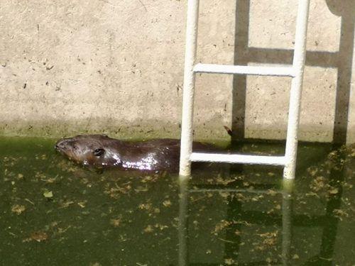 Die Feuerwehr rettete den Nager mit einer Rampe aus dem Pool. APA/FF PAYERBACH