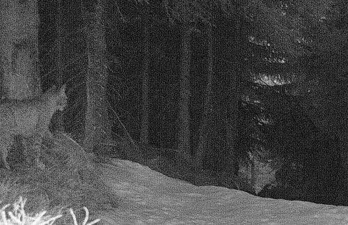 """Die größte heimische Katzenart wurde durch eine """"Foto-Falle"""" aufgenommen."""