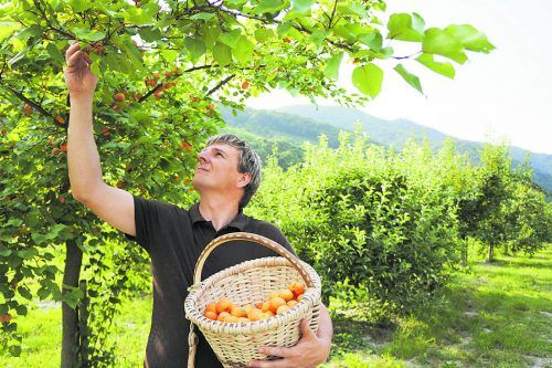 Die Marillen werden im Juli in Handarbeit geerntet.Donau Niederoesterreich/Steve Haider