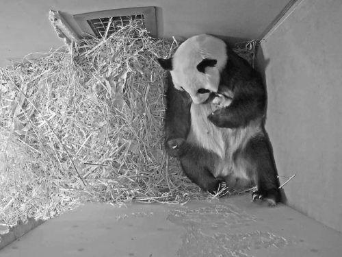 Die Panda-Mutter knuddelt und umarmt ihr Junges. AP