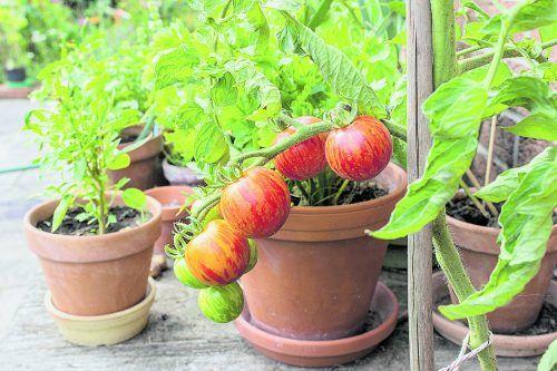 Tomaten fühlen sich im Topf auf dem Balkon und auch im Gartenbeet wohl.ISTOCK