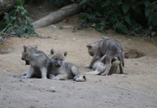 Der Nachwuchs vergrößert das Wolfsrudel nun auf insgesamt 17 Tiere. Zoo Osnabrück