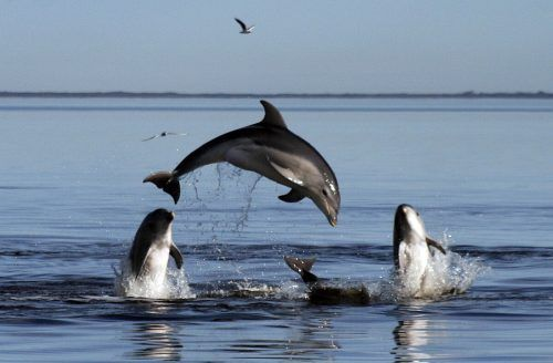 """Die Delfine gehören zum """"Schatz"""" Neuseelands. Monash University"""