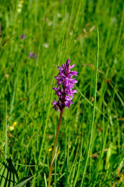 Die schmarotzende Orchidee überlebt ohne Photosynthese.