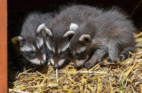 Die Waschbärenbabys sind am 31. März auf die Welt gekommen. AP