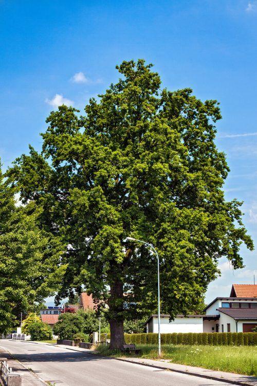 Eine 130 Jahre alte Eiche in der Hasenfeldstraße.