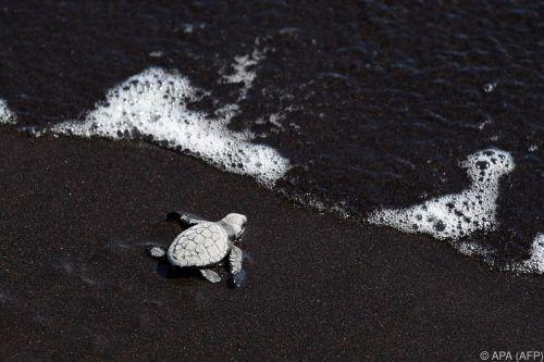 Eine Grüne Meeresschildkröte wird bis zu 1,40 Meter lang und rund 160 Kilo schwer.