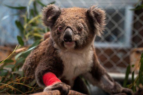 Koalas galten in New South Wales schon vor den Buschfeuern als gefährdet. Reuters