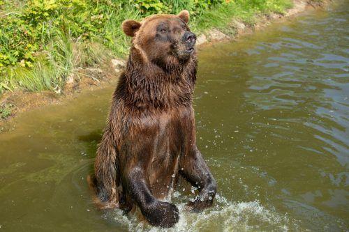Zu viele Menschen in den Bergen stören die Bären. apa/dpa