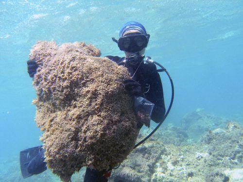 Die Alge breitet sich schnell aus und erreicht die abgelegensten Orte unter Wasser. AP