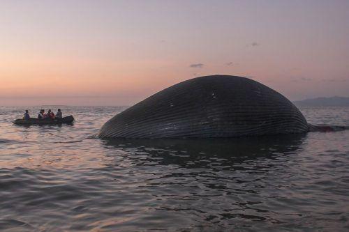 Experten untersuchen nun den 23 Meter langen Kadaver. AFP