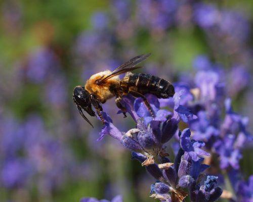 Mit knapp 3 Zentimeter Länge ist sie doppelt so groß wie eine Honigbiene. Inatura