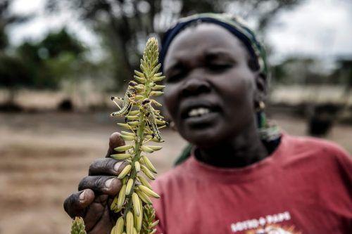 Zudem grassiert in Kenia eine Heuschreckenplage. AFP