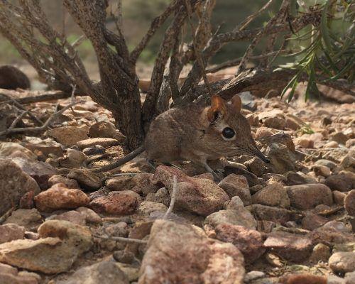 Das erste Foto eines lebenden Sengi, aufgenommen in Dschibuti. Afp