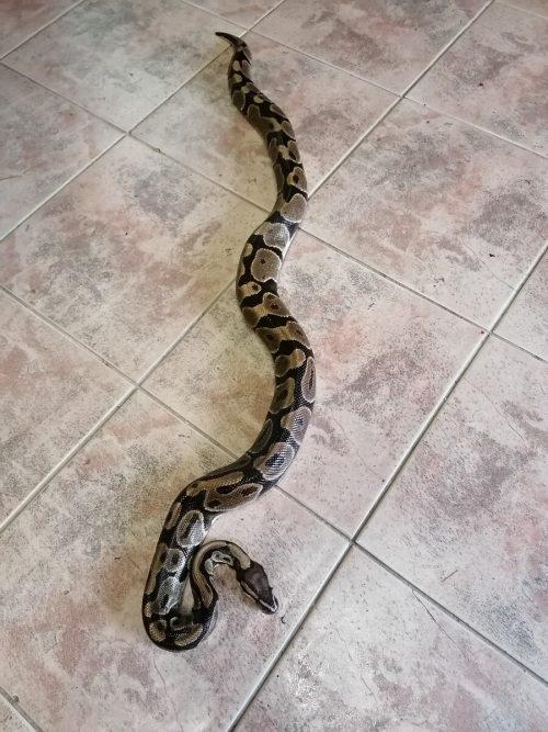 Die 1,20 Meter lange Schlange befindet sich in einem guten Zustand. APA/LPD SalzburG