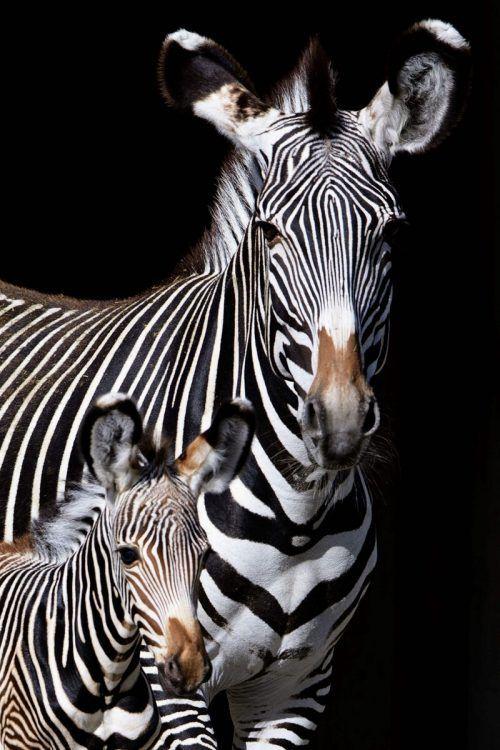 Grevyzebras erreichen eine Schulterhöhe bis zu 150 Zentimetern. AFP