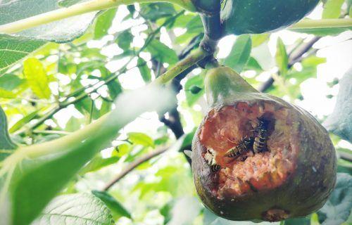Süßes Obst mögen Wespen besonders gern zum Naschen. VN/Haller