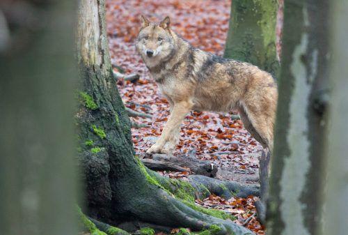 Wölfe sind in Europa wieder stark präsent. Insgesamt 20.000 der Räuber haben sich angesiedelt. Das stößt nicht überall auf große Freude.dpa
