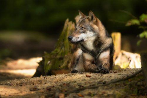 Wölfin Inge lebte viele Jahre im Wildpark am Ardetzenberg. Jetzt musste das Tier eingeschläfert werden. wildpark