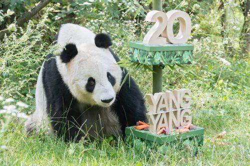 Yang Yang erhielt eine Torte mit ihren Lieblingszutaten. APA/Tiergarten Schönbrunn