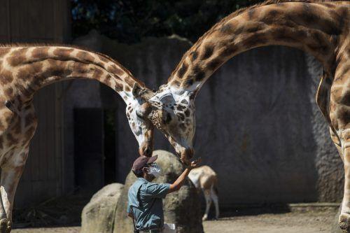 Zwei Giraffen fressen einem Tierpfleger im La Aurora Zoo, Guatemala-Stadt, aus der Hand. AP