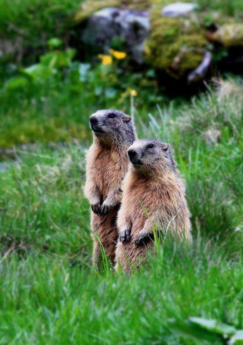 Alpenmurmeltiere sind putzige und pfiffige Nager. NIGG