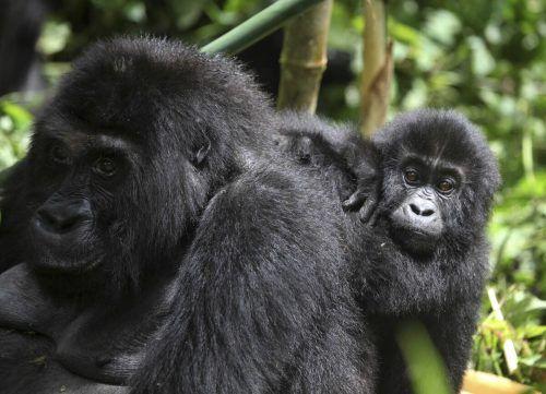 Auch der Östliche Flachlandgorilla im Kongo gilt als besonders gefährdet. Rts