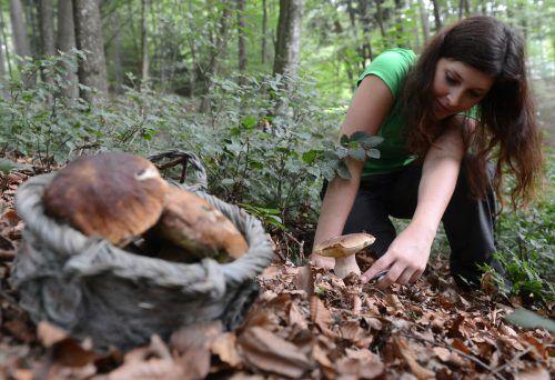 Beim Pilzesammeln ist für Anfänger höchste Vorsicht geboten, denn viele Speisepilze haben giftige Doppelgänger. apa